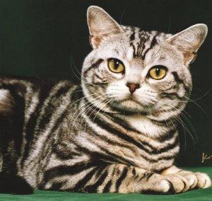 tabby1-domesticcat-closeup