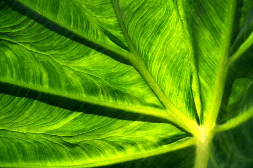 Close up of a Colocasia leaf in our back garden. (Photo: Luis Gomez, One Photograph A Day.)