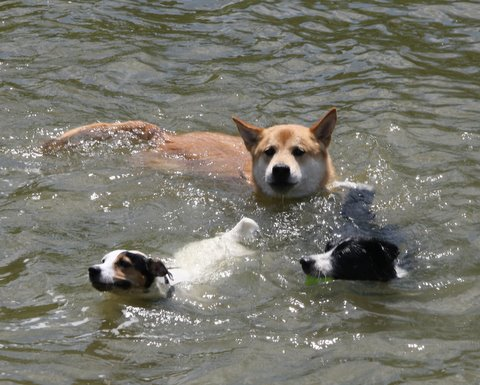 Lupe (front-right) goes for a swim in the South River on Saturday at Quiet Waters County Park in Annapolils. (Photo: Luis Gomez, One Photograph A Day.)