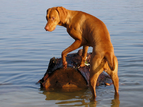 This is NOT Molly, but this is a Vizsla. (Photo: Wikipedia.com.)